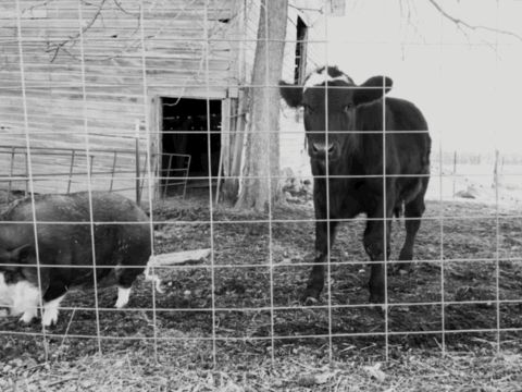 Moe the pig and Molly the calf
